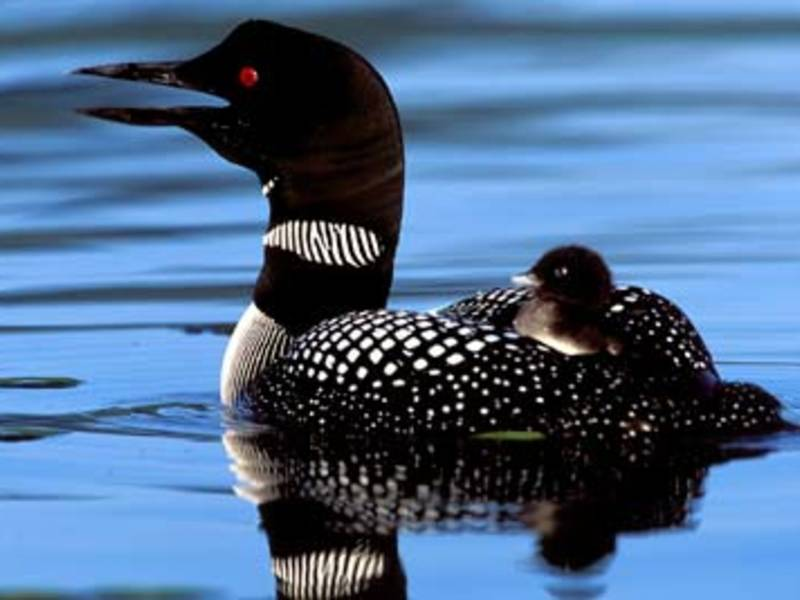 Nh fish and game offering tackle buy back to protect loons for Nh fish game