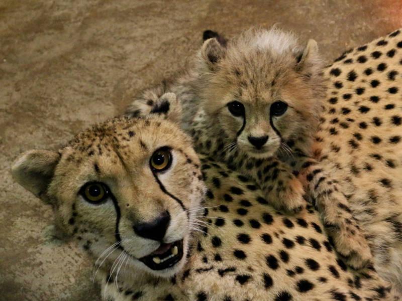 the bingwa bunch saint louis zoo names eight cheetah cubs st