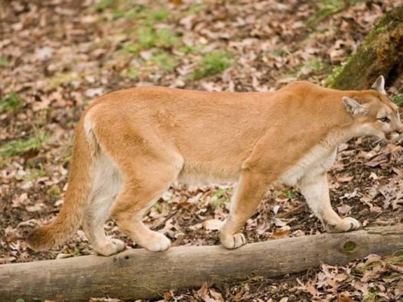 Cougar in missouri