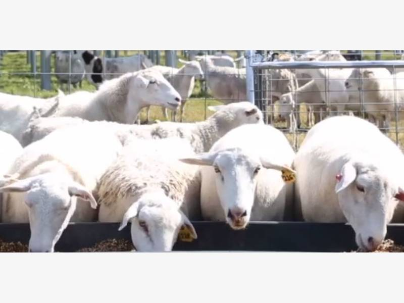 TECO Not Sheepish About Using These Eco-Friendly Lawn Mowers