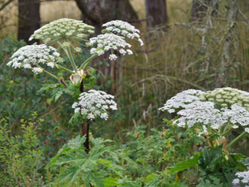 Giant Hogweed Michigan Map.Plant That Causes 3rd Degree Burns Blindness Grows In Michigan