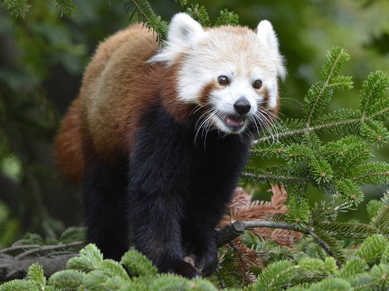 New Red Panda Exhibit Opens At Detroit Zoo Today