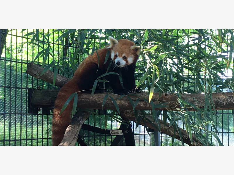 4-Year-Old Red Panda Named Henry Dies At National Zoo Facility