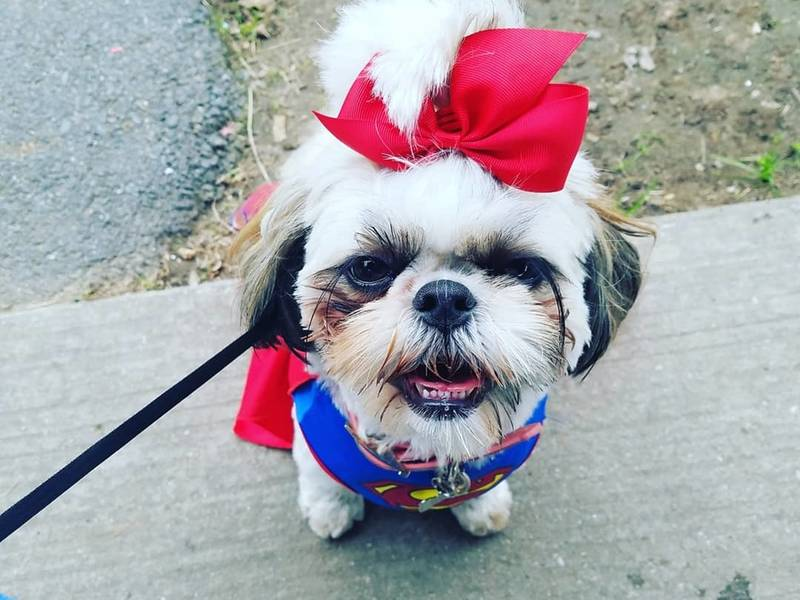 Phoebe Gates 1 Year Old Shih Tzu Parkville Md Patch