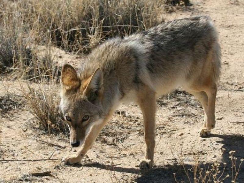 Coyote Sightings Reported In Redondo Beach