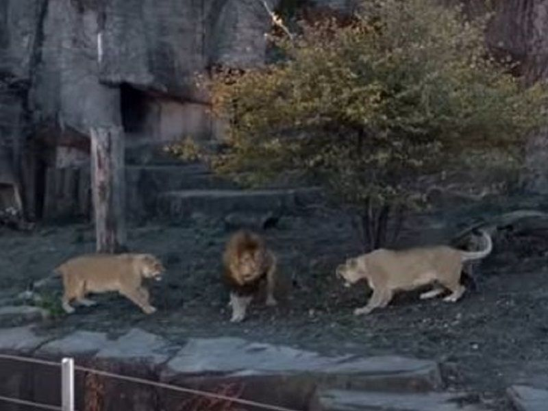 these fighting lions at lincoln park zoo prove not all cat videos
