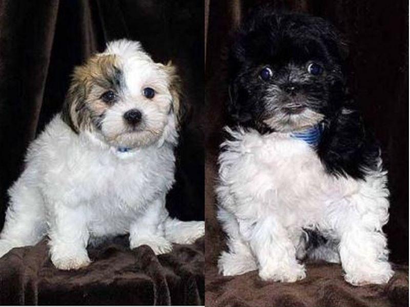 2 designer dogs worth  4 000 stolen from arlington heights