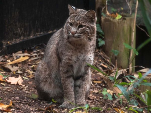 Missing Washington bobcat found in zoo after three-day search