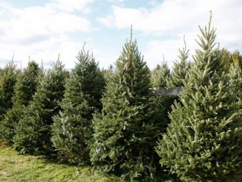 San Diego Kicks Off Annual Christmas Tree Recycling Program Throughout  County - San Diego Kicks Off Annual Christmas Tree Recycling Program