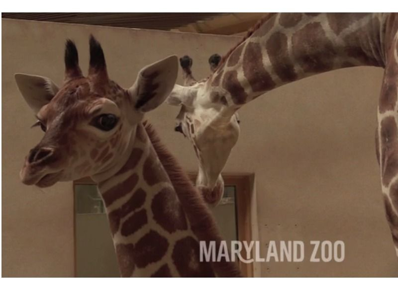 maryland zoo reveals name of baby giraffe baltimore md patch