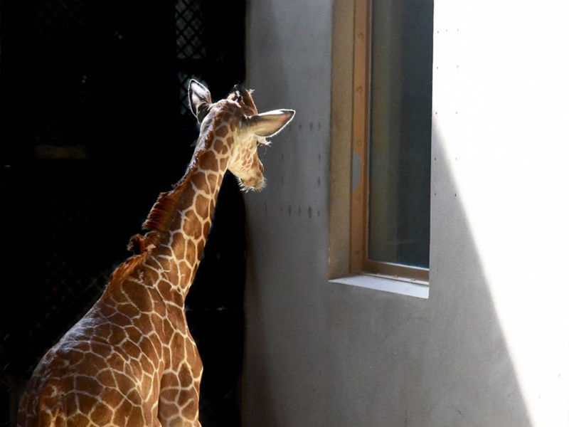 Julius The Baby Giraffe Dies After Health Battle ... - photo#14
