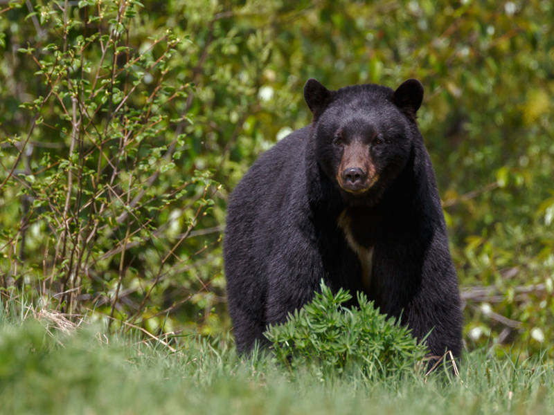 June Deadly For Bears On Maryland Highways