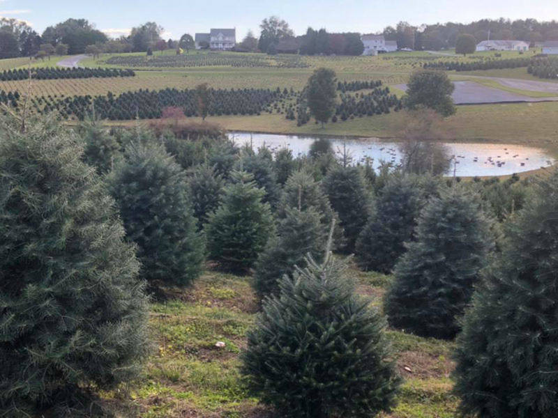 Best Christmas Tree Farm In Maryland And Others You Can Visit ...