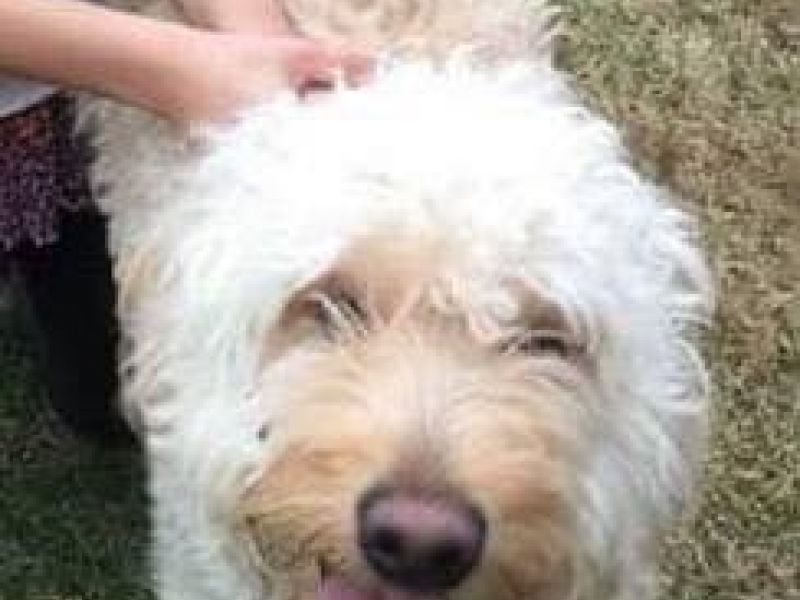 Golden Retriever Poodle Mix Lost In White Plains White