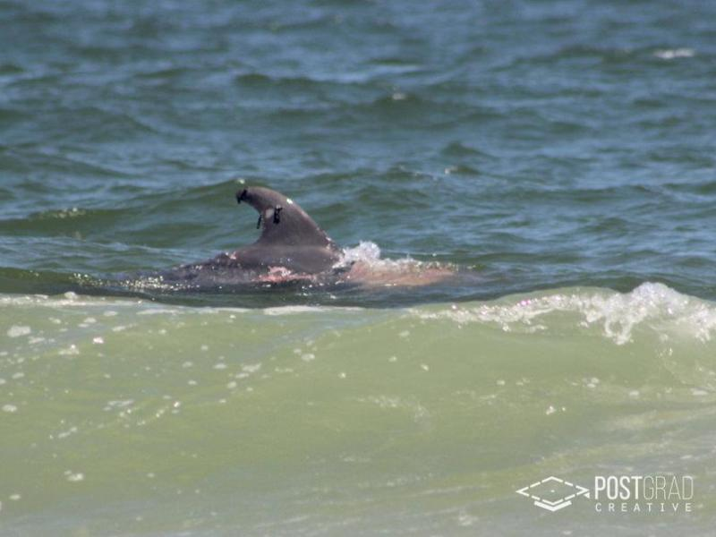 Possible n j shark attack on wounded dolphin caught on for Lbi surf fishing report