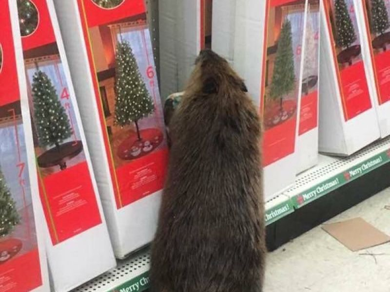 beaver rejects fake christmas trees in dollar store 0 - Dollar General Christmas Tree