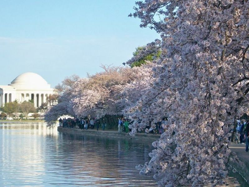 When Will Dc Cherry Blossoms Bloom In 2017 Bethesda Md