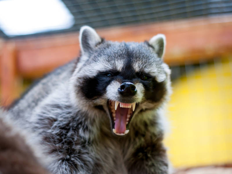 raccoon bite on dog