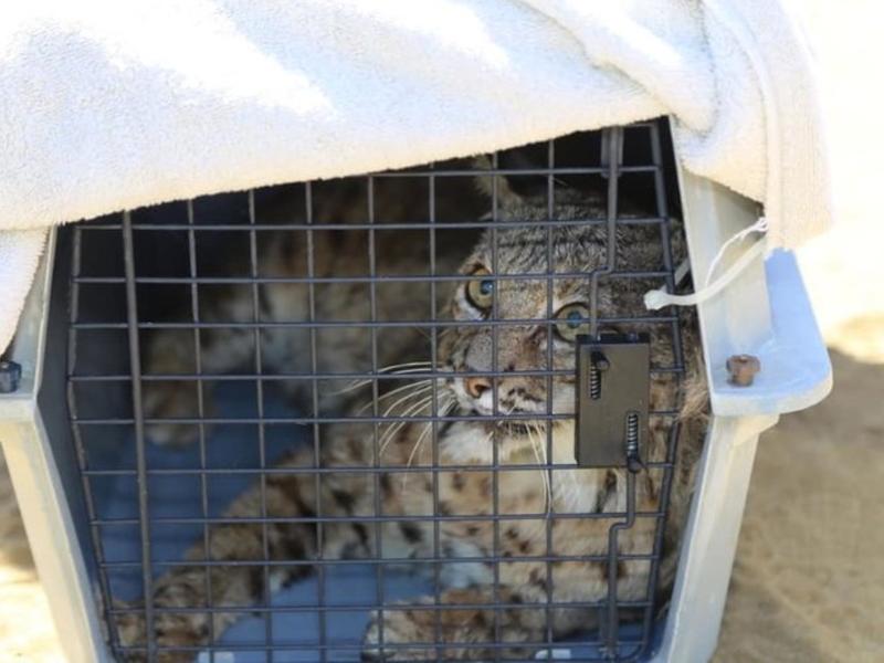Bobcat Hit By Patrol Car Recovers   Coachella Sights   OC Today