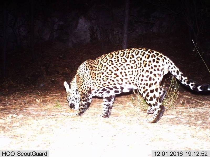 Someone Just Killed 1 Of 2 Wild Jaguars Remaining In The US