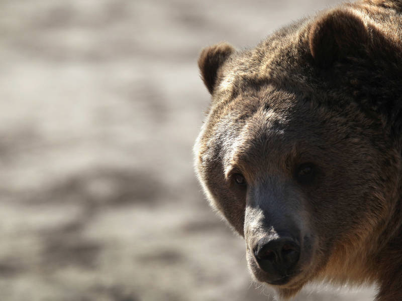 Why Jane Goodall Wants A Permit To Hunt Grizzly Bears In Wyoming