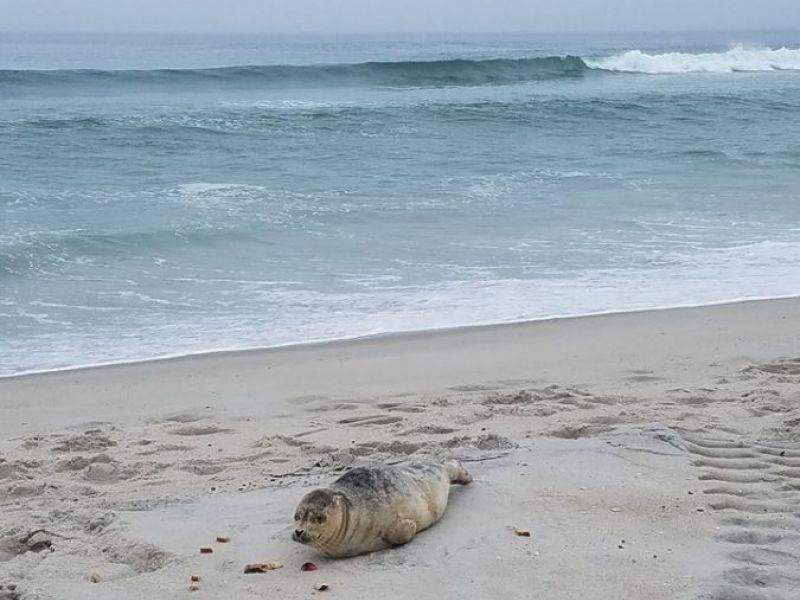 Do The Seals A Favor And Leave Them Alone Harvey Cedars Beach Patrol