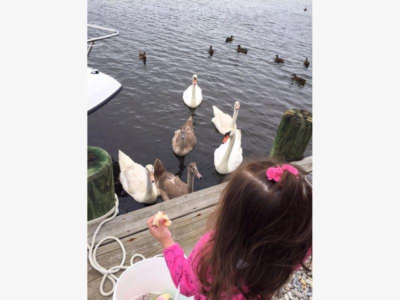 Beloved Swan Family Mowed Down On Bayview Avenue In