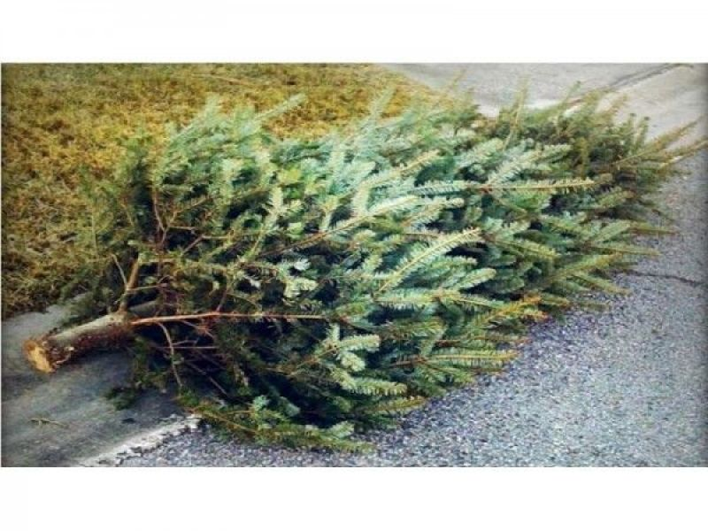 Marlborough Remember To Leave Your Christmas Trees At The Curb