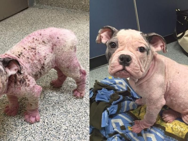 abandoned dog with severe case of mange recovering needs home