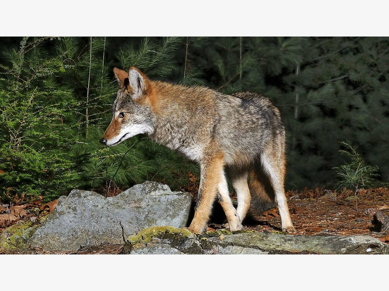 Coyote Kills Dog Natick Warns They Have Been Here All Along