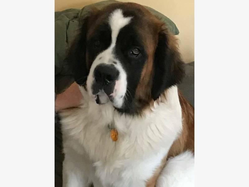12 st bernard puppies rescued man charged with animal - St bernard memorial gardens obituaries ...
